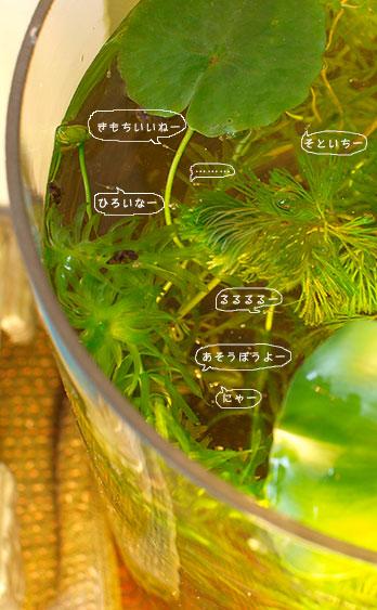 medaka_fukidashi.jpg