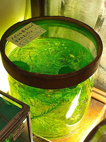medaka_glass.jpg