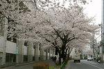sakura_08_04.jpg