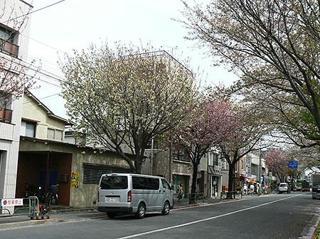 ao_sakura_01.jpg