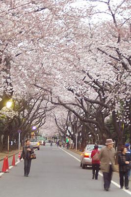 yanaka_sakura.jpg